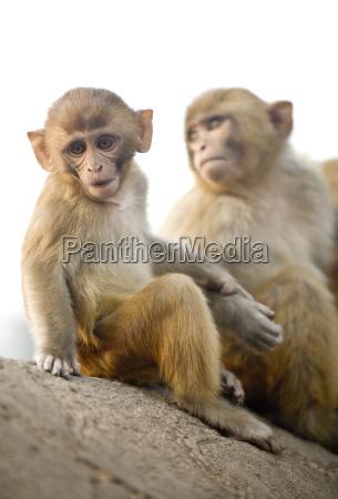 monkeys at pashupatinath temple kathmandu nepal
