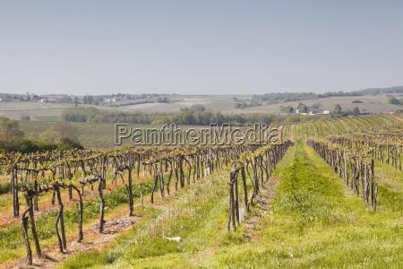 vineyards in the cognac area of