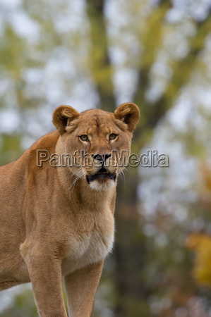 lioness in a clearing in the