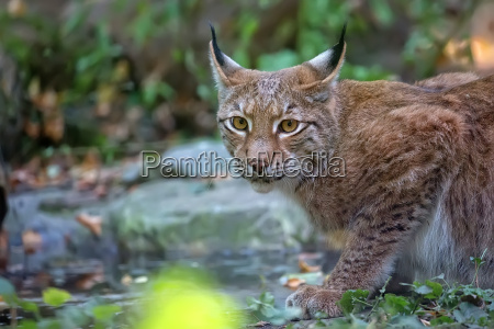 lynx in the forest a portrait
