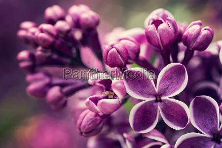 lila lila blueten fruehlingsblueten