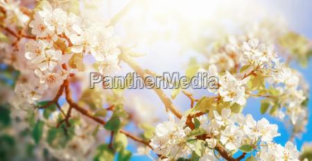 white apple blossom in dreamy sunlight