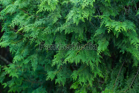 forrest of green pine tree