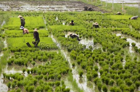 tending the rice paddies shan state