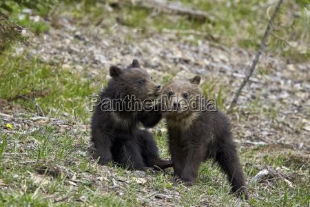 two grizzly bear ursus arctos horribilis