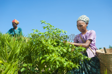 a woman collects chillies in the