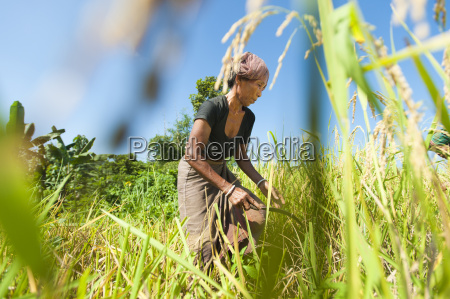a woman harvests rice with a