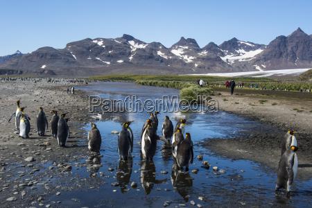 king penguins aptenodytes patagonicus salisbury plain
