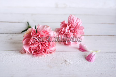 tender still life with pink carnation