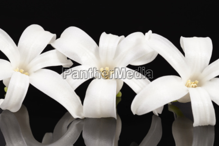 single spring flower white hyacinth isolated