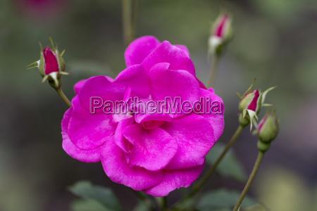 blume rosa rosa rugosa mit knospen