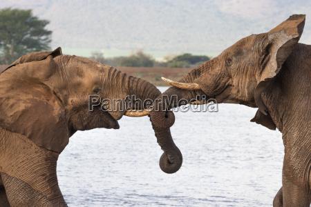 afrikanische elefanten loxodonta africana ringe zimanga