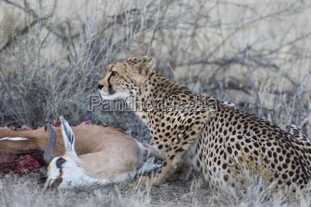 cheetah acinonyx jubatus auf springbock toeten