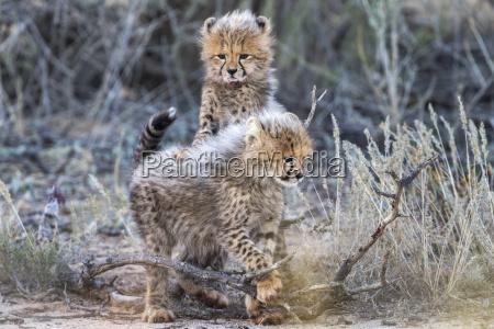 cheetah acinonyx jubatus cubs kgalagadi transfrontier