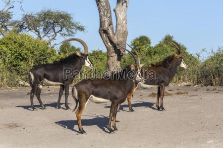 sable hippotragus niger chobe nationalpark botswana