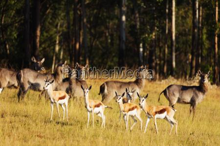springbok antidorcas marsupialis mlilwane wildlife sanctuary