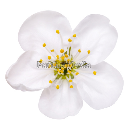 spring flower apple blossoms isolated on