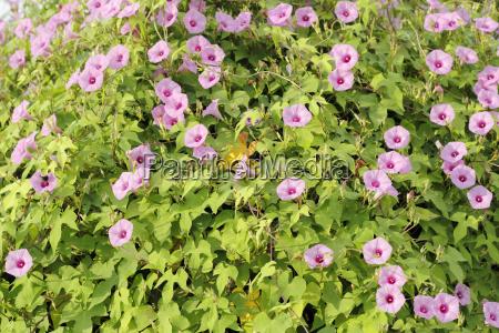 pink morning glories bush