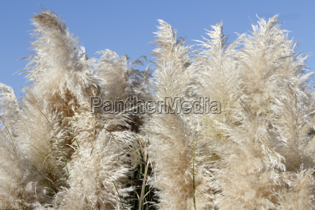 pampas grass with a sunny blue