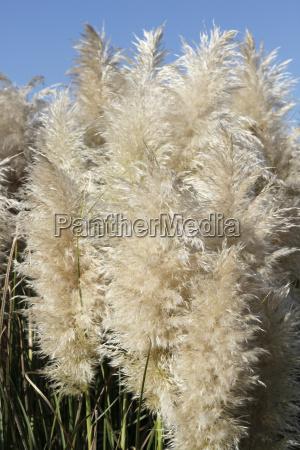 close up of tall pampas grass