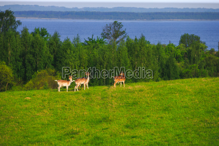 fallow deer on a forest glade