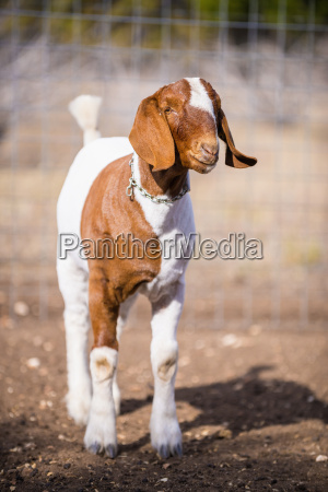 usa texas young boer goat