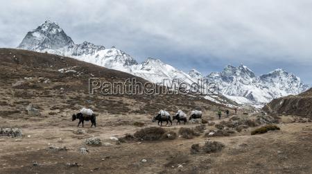 nepal himalaya khumbu pack animals on