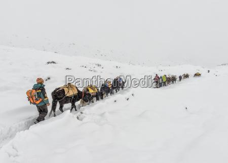 nepal himalaya khumbu dughla yaks and