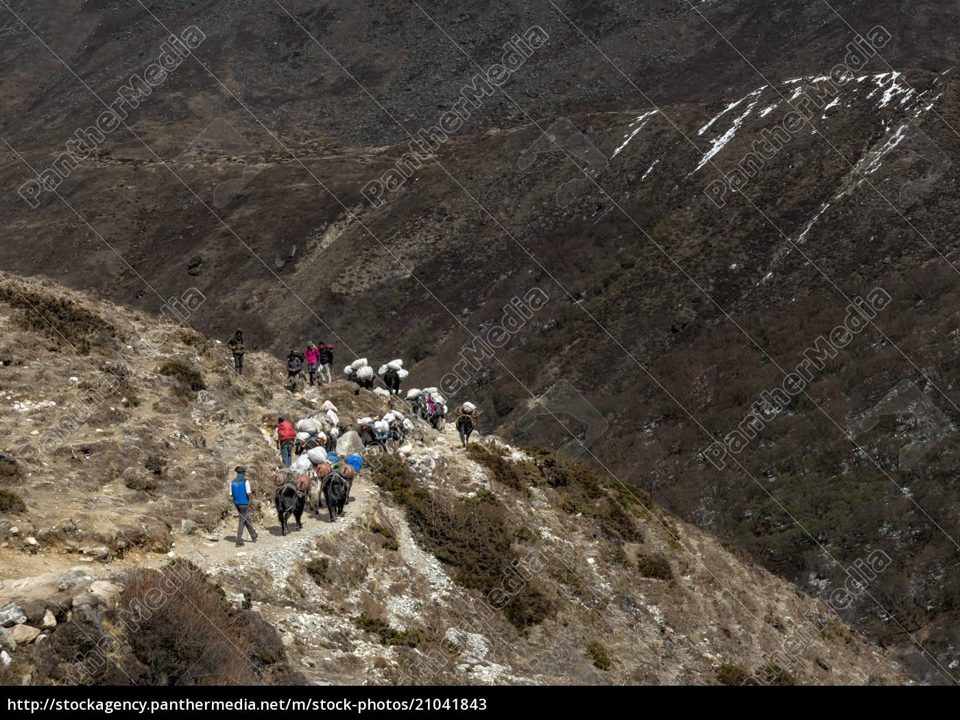 nepal, himalaya, khumbu, wanderer, und, päckchen, tiere, auf, wanderweg - 21041843