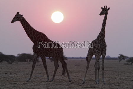 namibia etosha national park two giraffes