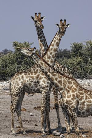 namibia etosha national park three giraffes