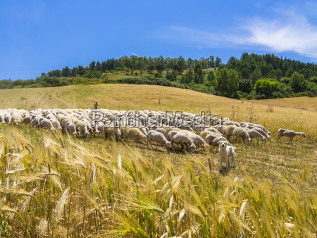 italien sizilien region calascibetta schaeferhund und