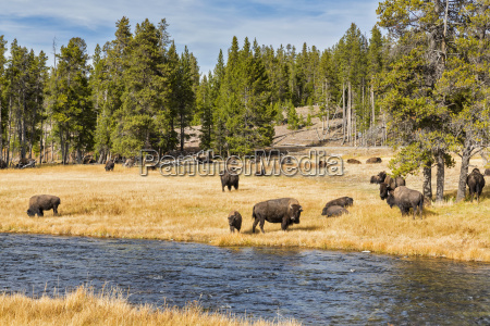 usa wyoming yellowstone national park herd