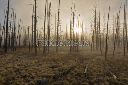 usa yellowstone national park forest with