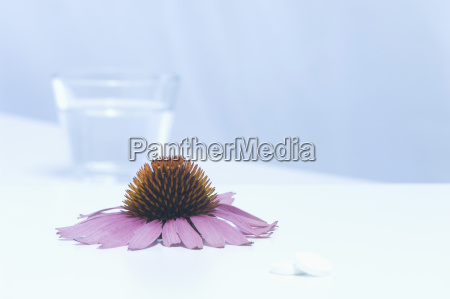flower head of echinacea with glass