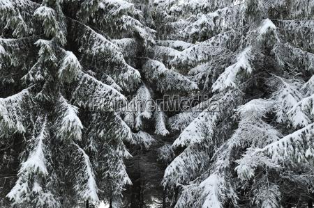 germany thurinigia oberhof firs in winter