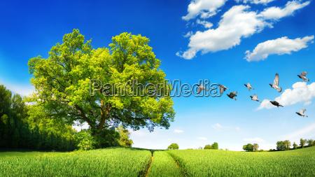 large oak in a green field