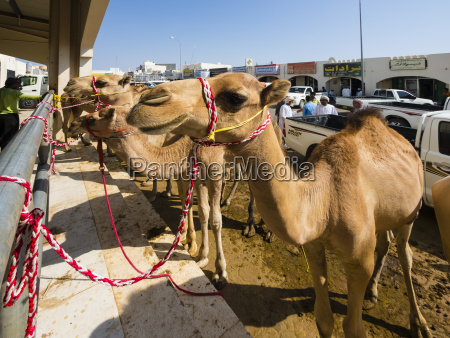oman sinaw kamelmarkt