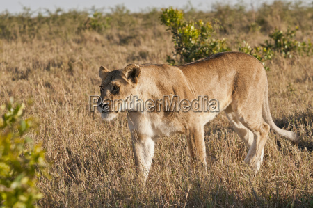 kenya lion walking around maasai mara