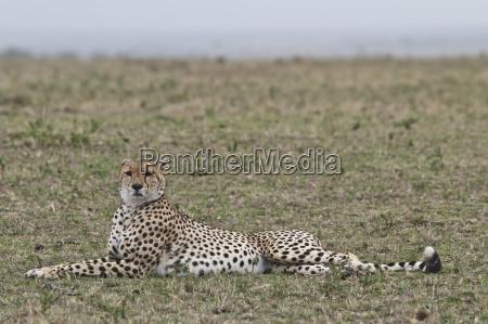 africa kenya cheetah relaxing on grass