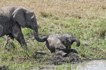 africa kenya african elephant with young