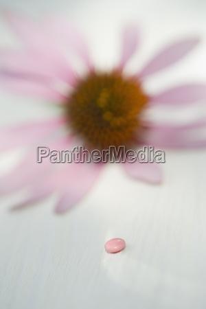 rosafarbene pille und purpurrotes coneflower echinacea