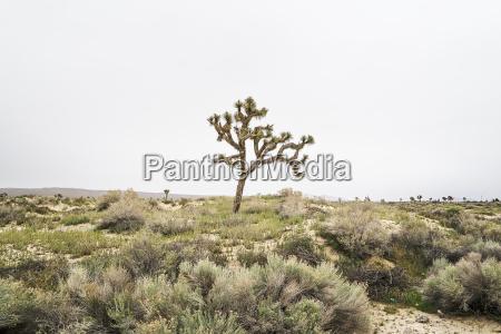 usa california landscape with single joshua