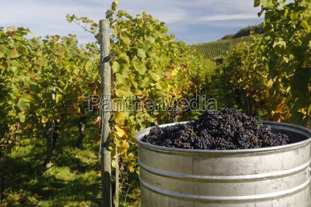 deutschland baden wuerttemberg pinot noir grape