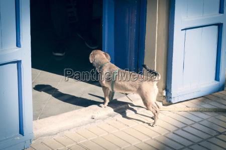 kleiner hund beobachtet in einem haus