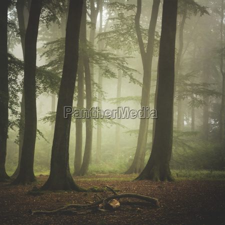 beech forest at misty summer morning