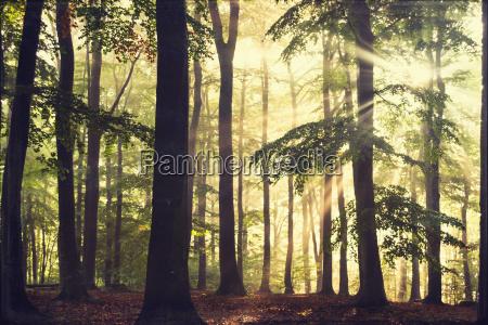 buchenwald am morgen in der hintergrundbeleuchtung