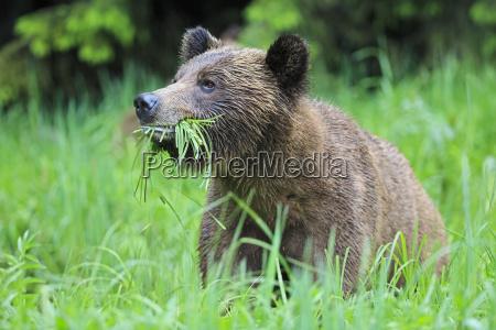 kanada khutzeymateen grizzly bear sanctuary portrait