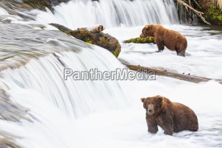 usa alaska katmai national park brown