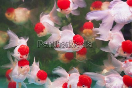china hongkong tropische zierfische im aquarium
